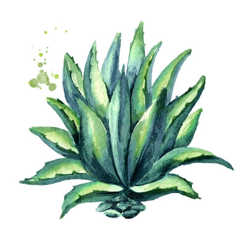 agaveväxt Räcka den utdragna vattenfärgillustrationen som isoleras på vit bakgrund vektor illustrationer