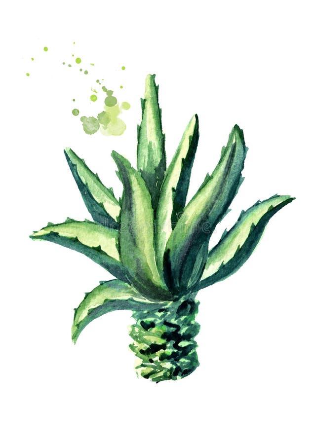 agaveväxt Räcka den utdragna vattenfärgillustrationen som isoleras på vit bakgrund stock illustrationer