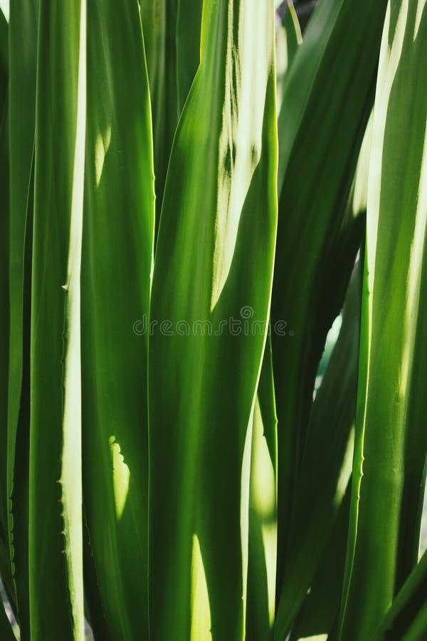Agaveverlof, tropisch groen, abstracte aardachtergrond royalty-vrije stock afbeelding
