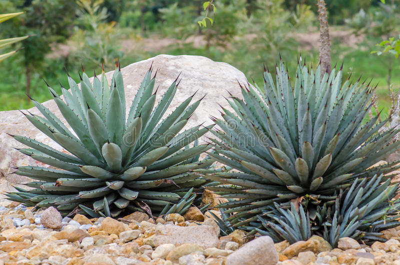 Download Agavo Nombrado Cactus De Harvard Imagen de archivo - Imagen de barril, tierra: 64204797