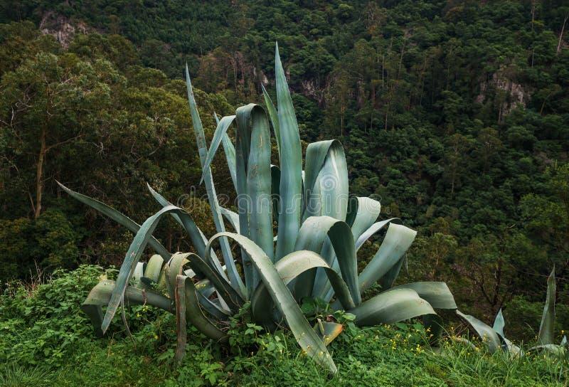 Agawa americana madery wyspa, (piteira) zdjęcie stock