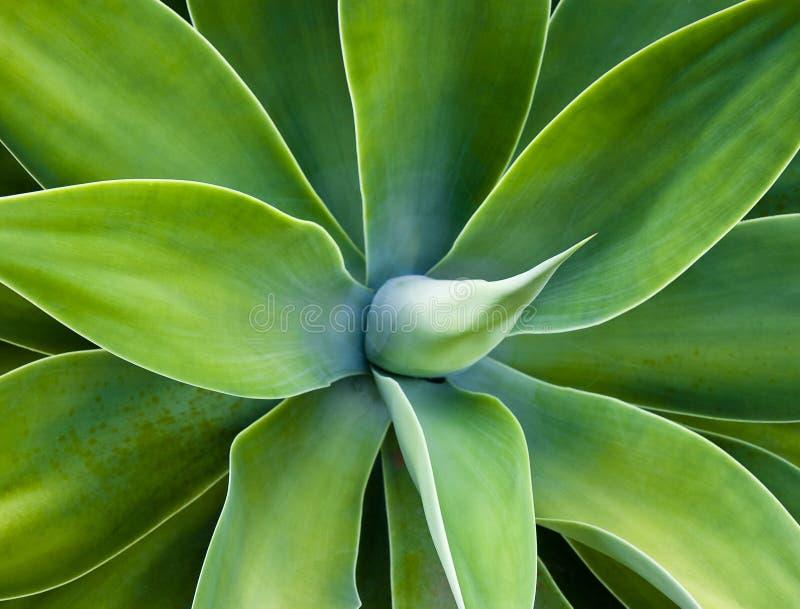 Agawa kaktus fotografia stock