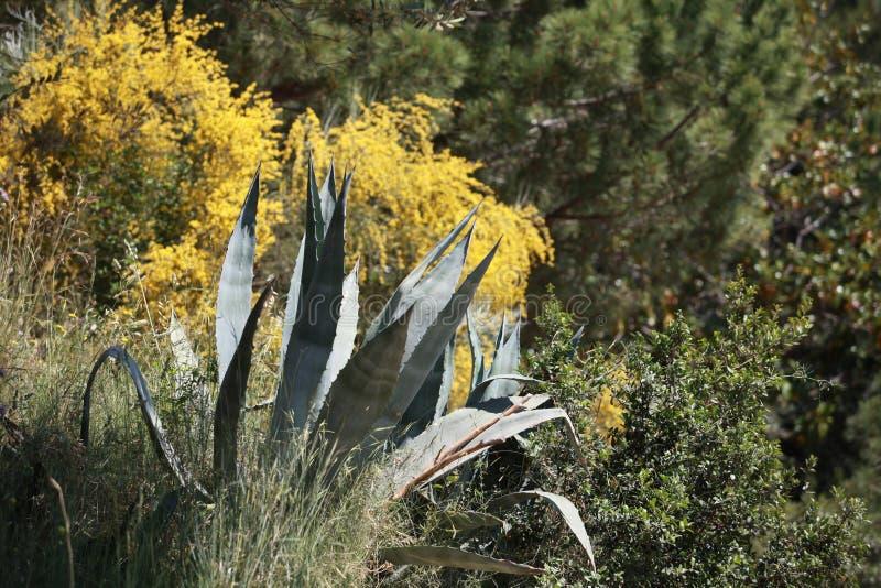 Agawy roślina z spiny liśćmi zdjęcie stock