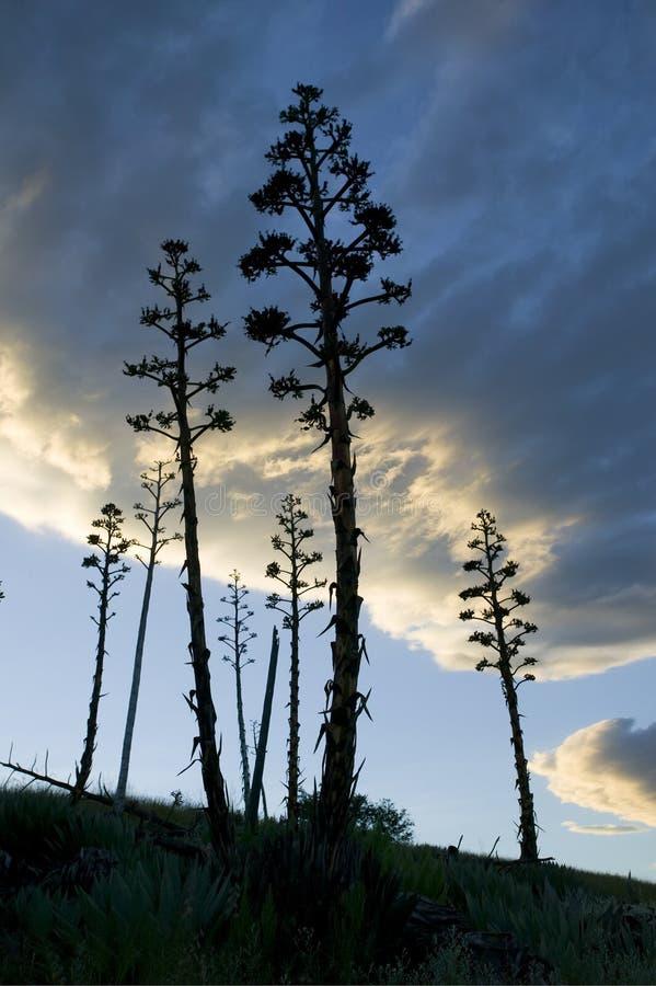 agawy rośliny slihouette obrazy stock