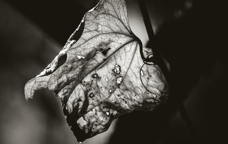 Age Spots of the Leaf. Monochrome closeup of a back lit leaf on the vine showing signs of withering and being damaged by insects in nature stock photography