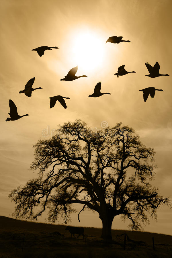 Aged Bare Oak Tree in Winter Fog. Silhouette of flying geese over aged bare oak tree in Winter, San Joaquin Valley, California royalty free stock photography