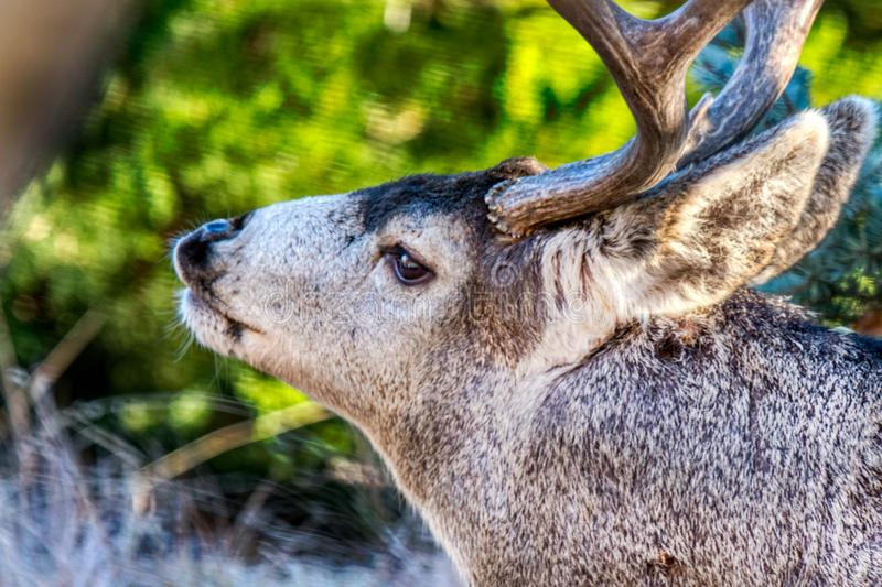 An aged mule buck deer, the head of the herd, curls his lips in rut - close up. A graying face and strong antlers may show his age, but this mule buck is clearly royalty free stock photo