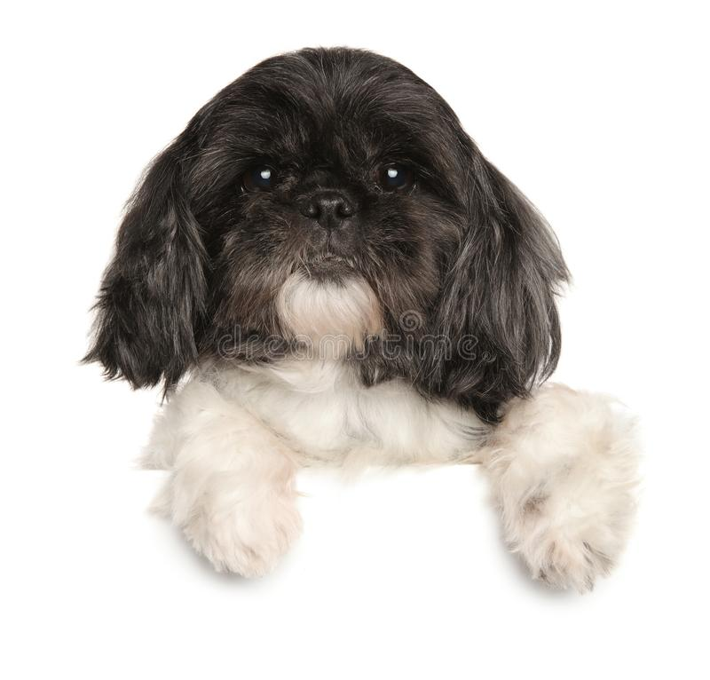 Aged Shi Tzu dog above banner. Close-up of a aged Shi-Tzu dog above banner, isolated on white background. Animal themes royalty free stock images