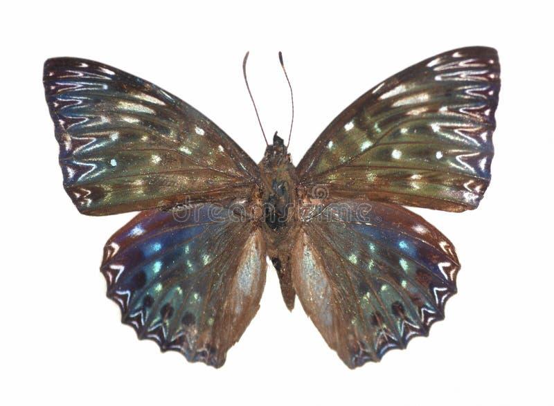 Agente della farfalla