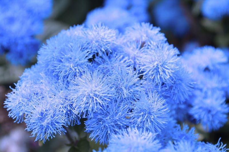 Ageratum azul fotografía de archivo libre de regalías