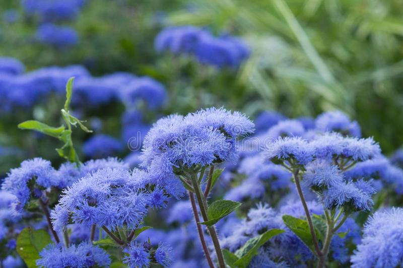 Ageratum beautiful flowers in the flowerbed. On photos of beautiful flowers in the flowerbed ageratum royalty free illustration