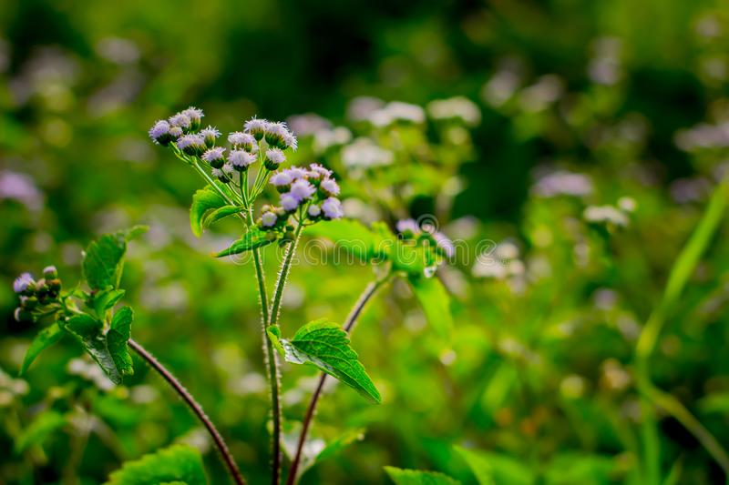 Wild Plant : Ageratum Conyzoides stock images