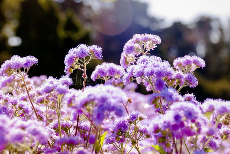 Ageratum, purple fluffy flowers royalty free stock photo