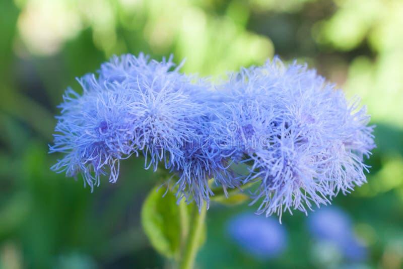 Ageratum violeta hermoso de la flor contra la perspectiva de una hierba verde en el verano en el jardín floreciente Rusia Ural de imágenes de archivo libres de regalías