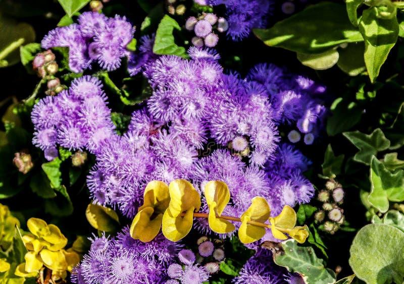 Download Ageratums-Blau Donau stockfoto. Bild von purpurrot, blume - 106802084
