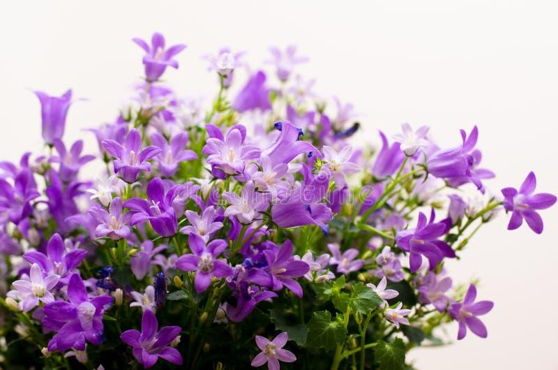 Aggiunte o bellflowers della campanula su bianco immagine stock