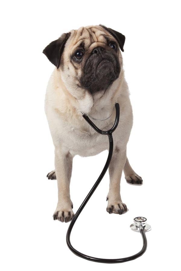 Aggiusti il carlino del cane con lo stetoscopio isolato su fondo bianco fotografie stock