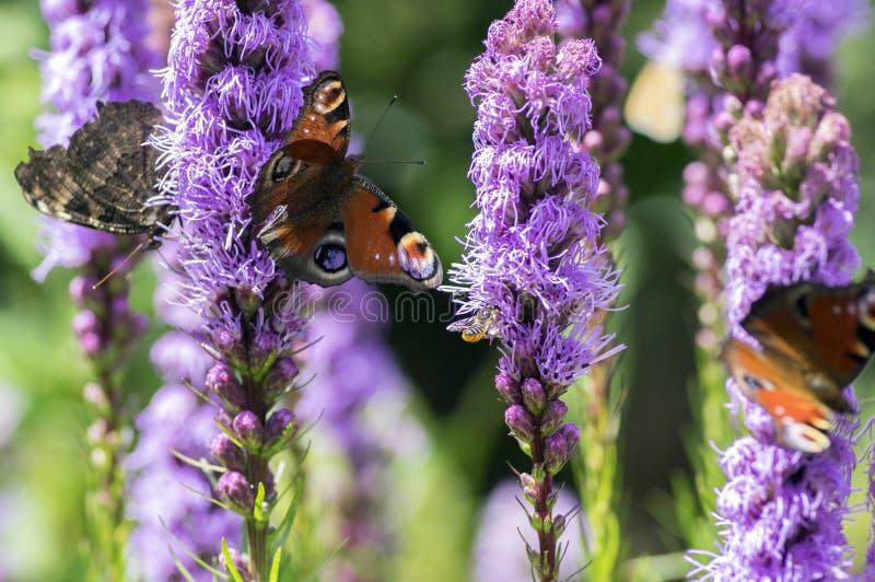 Agglais io vlinder op Liatris-spicata purpere bloem in bloei, sier bloeiende installatie stock foto's