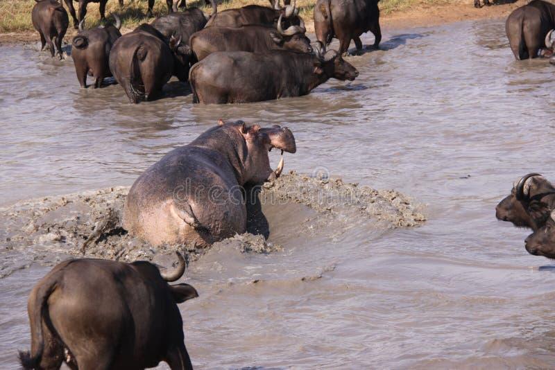Aggresive hippo chasing cape buffalo stock image
