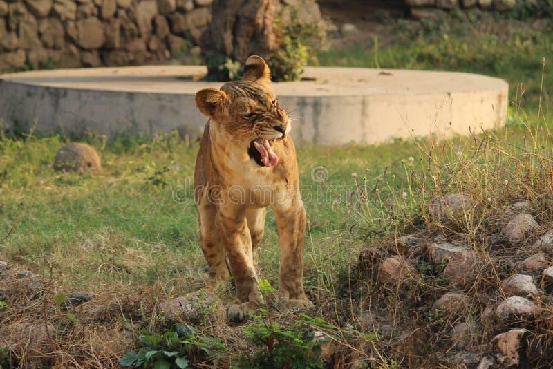 Aggressiv tiger som vrålar i zoo arkivfoton