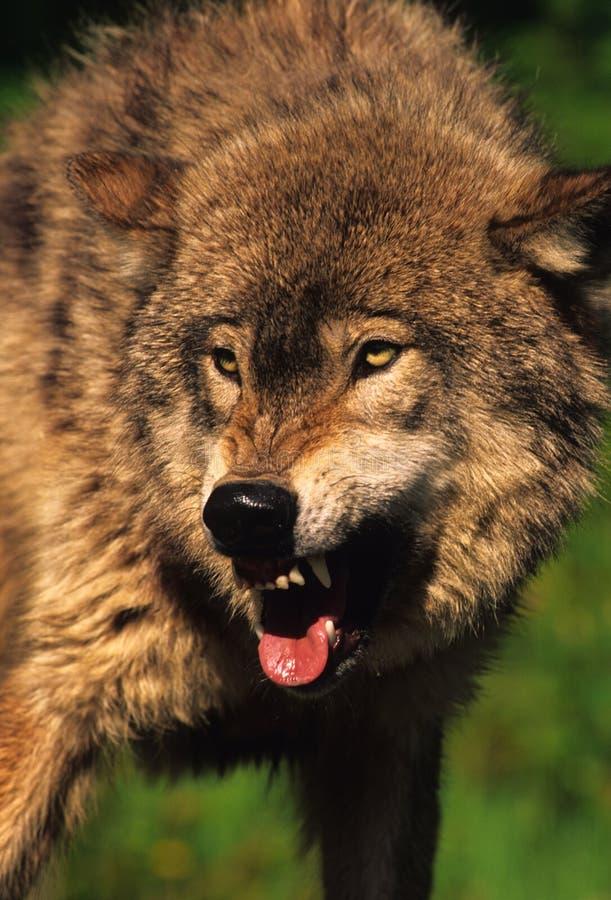 aggressiv wolf royaltyfria bilder