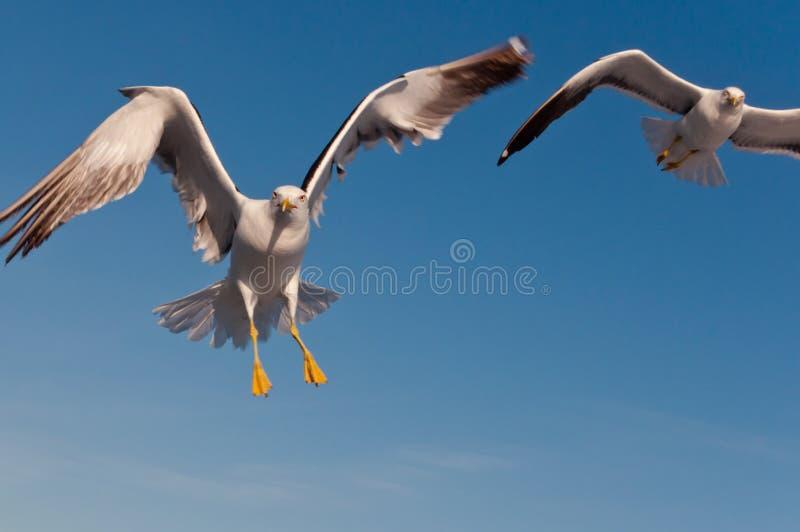Aggressiva seagulls i himlen royaltyfria foton