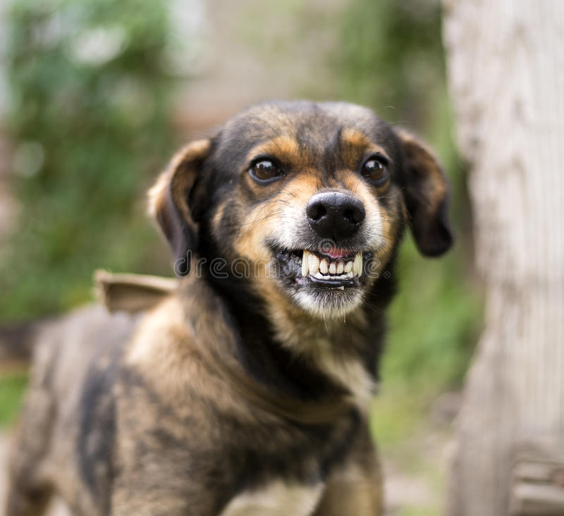 Aggressive, angry dog royalty free stock images