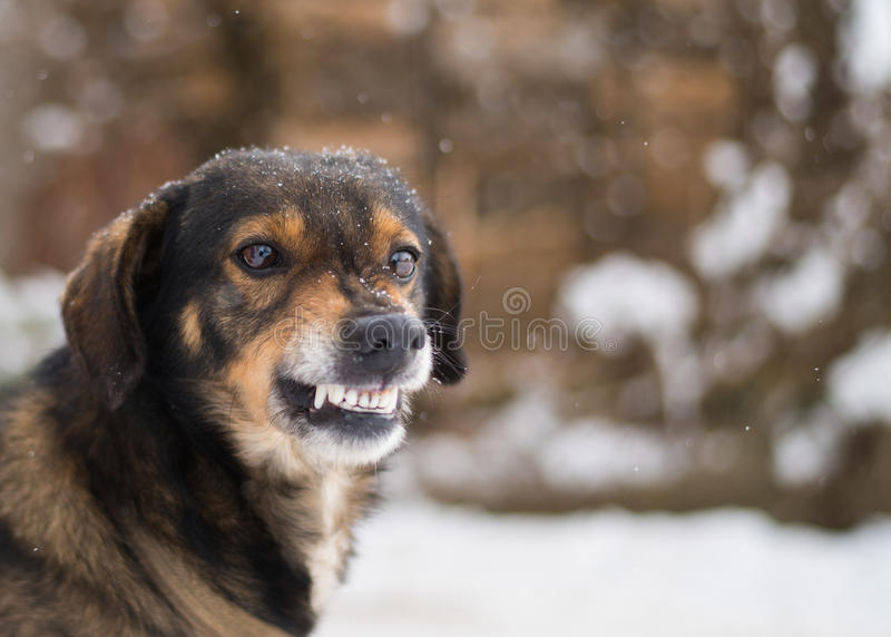 Aggressive, angry dog stock photos