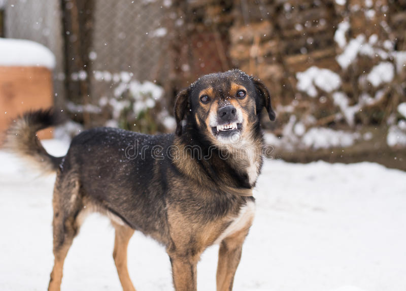 Aggressive, angry dog stock photo