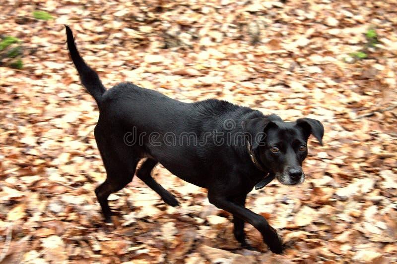 Aggressive, black, angry dog. royalty free stock photography