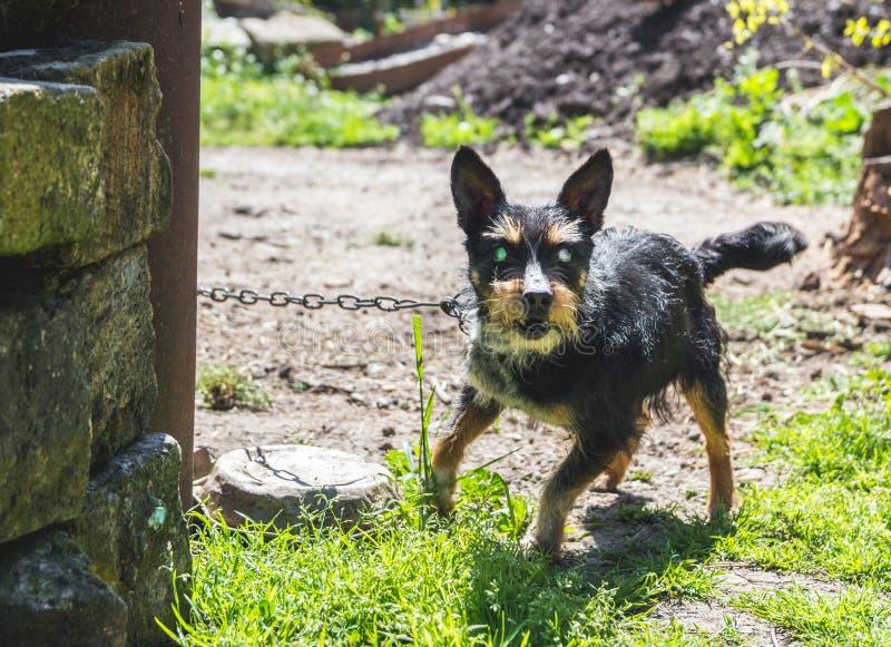 Aggressive blind house dog. On a leash stock image