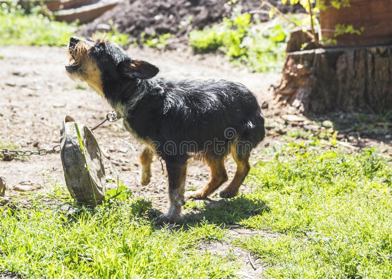 Aggressive blind house dog. On a leash stock photo