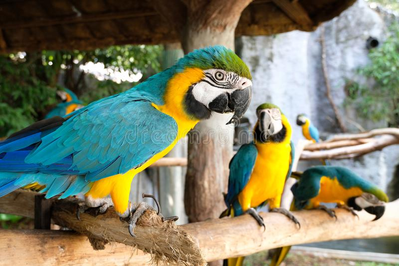 Aggressive Blue and Yellow Macaw. Blue and yellow macaw display aggressive behavior when intruders enter its territory stock photos