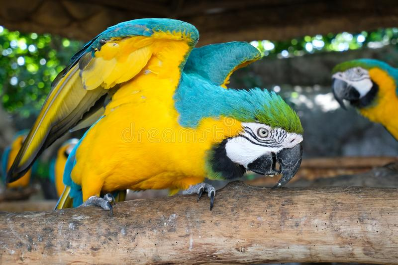 Aggressive Blue and Yellow Macaw. Blue and yellow macaw display aggressive behavior when intruders enter its territory royalty free stock photos