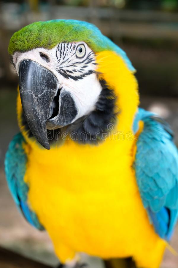 Aggressive Blue and Yellow Macaw. Blue and yellow macaw display aggressive behavior when intruders enter its territory stock image
