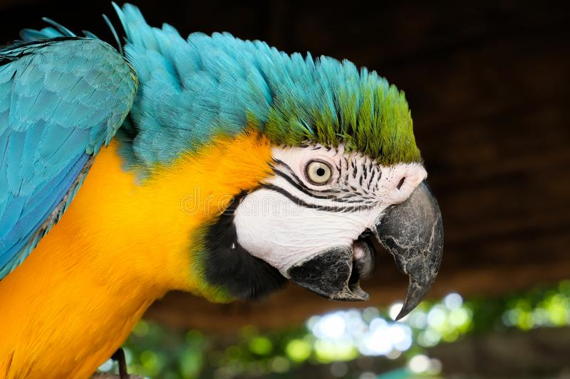 Aggressive Blue and Yellow Macaw. Blue and yellow macaw display aggressive behavior when intruders enter its territory stock images
