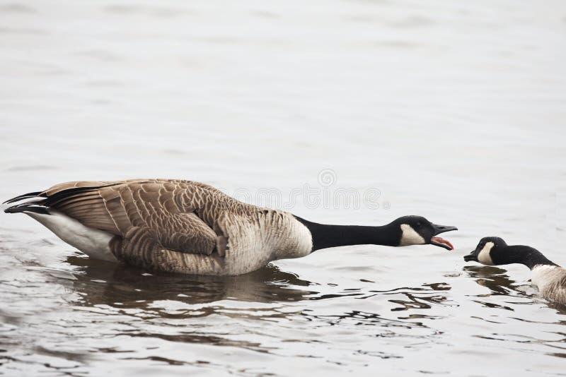Aggressive Canada Goose, Branta canadensis royalty free stock image