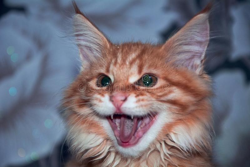 Aggressive cat Maine Coon. Ginger kitten for sale Maine Coon. purebred, purebred kittens, nursery.the cat hisses stock images