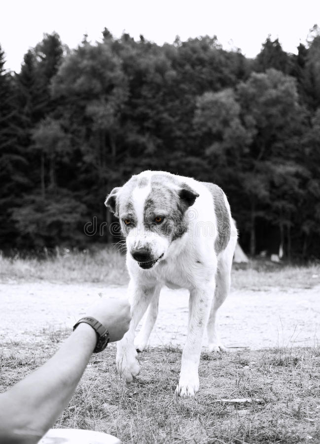 Aggressive dog. Trying to bite the hand that feeds him royalty free stock image
