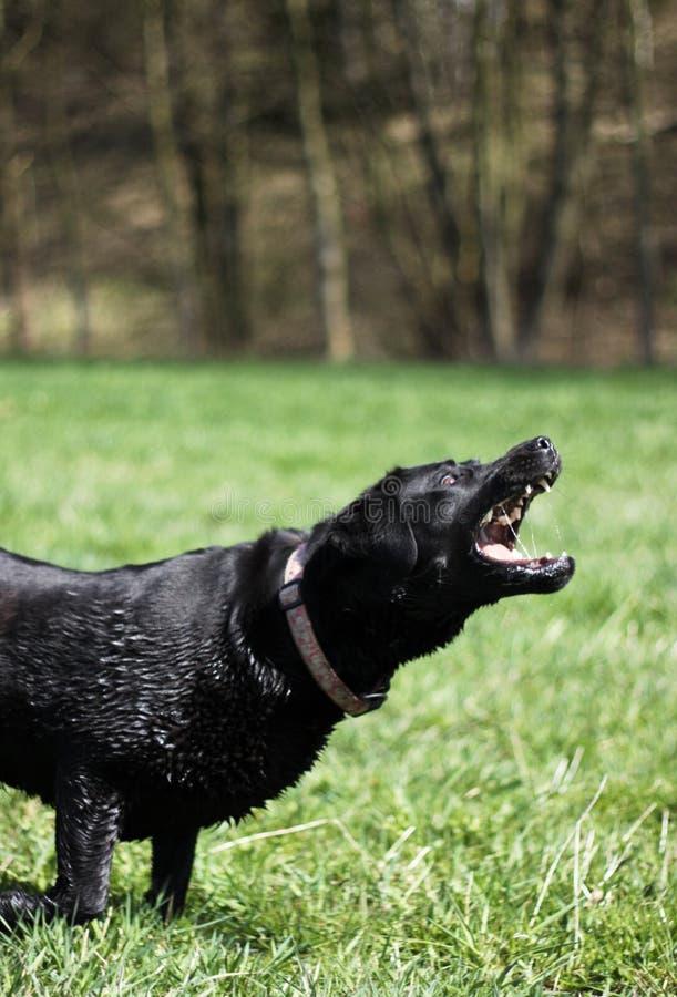 Aggressive Dog Royalty Free Stock Photo