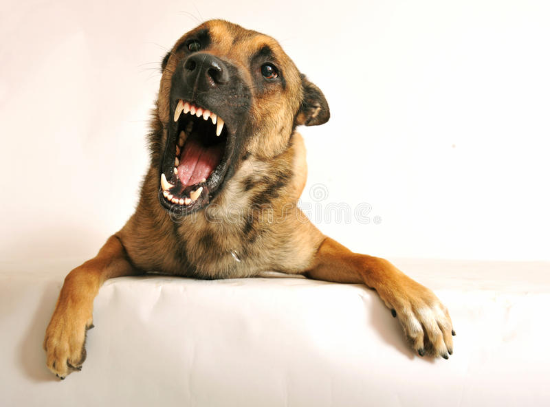 Aggressive dog stock photography