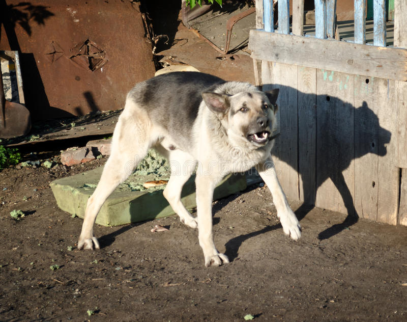 Aggressive dog. Barking, very aggressive dog outdoor royalty free stock images