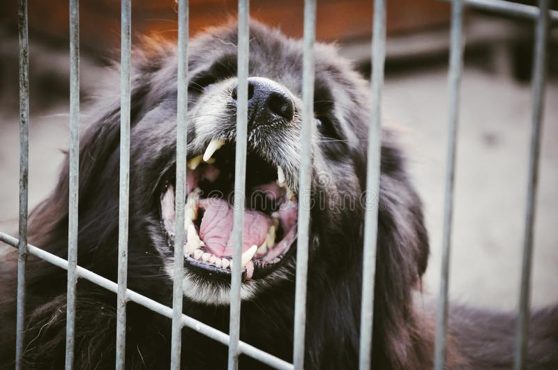 Aggressive dog showing teeth in shelter. Aggressive big dog barkind showing teeth behing cage bars in animal shelter stock images