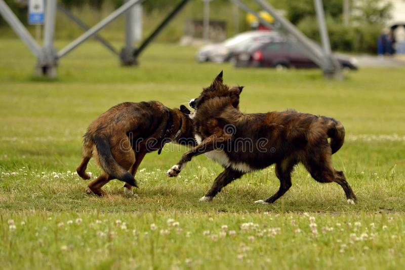 Aggressive dog. Training of dogs. Puppies education, cynology, intensive training of young dogs. Young energetic dog on a walk. Dogs play with each other. Merry royalty free stock photos