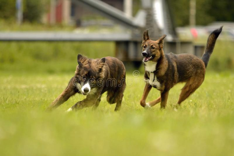 Aggressive dog. Training of dogs. Puppies education, cynology, intensive training of young dogs. Young energetic dog on a walk. Dogs play with each other. Merry royalty free stock photo
