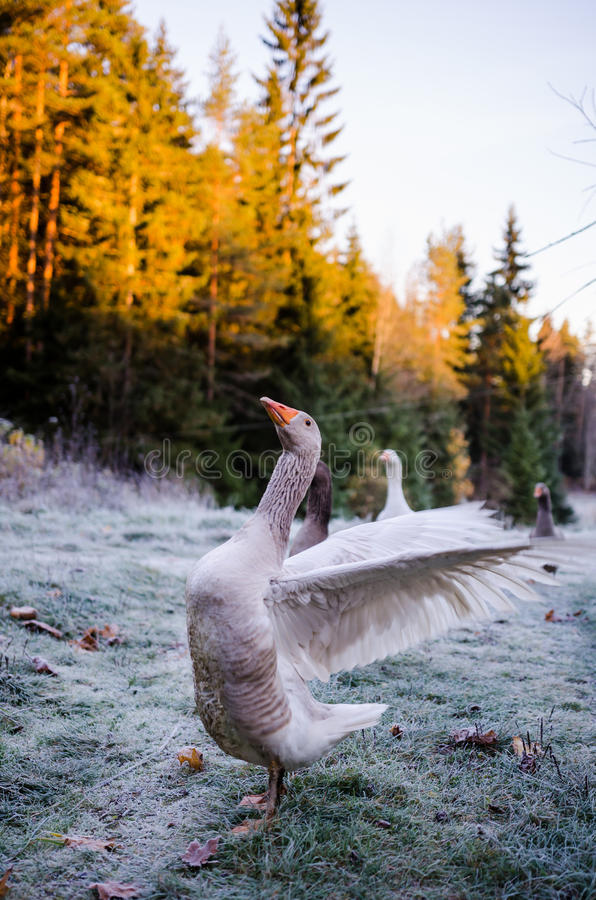 Aggressive goose. Flapping the wings- intimidation stock images