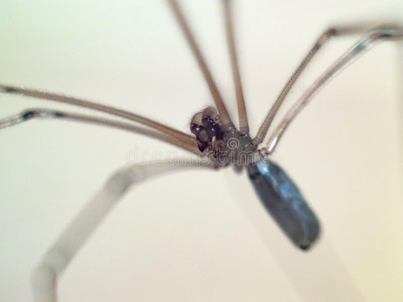 Aggressive long leg spider attacks. Aggressive half transparent long leg spider attacking the camera closeup royalty free stock image