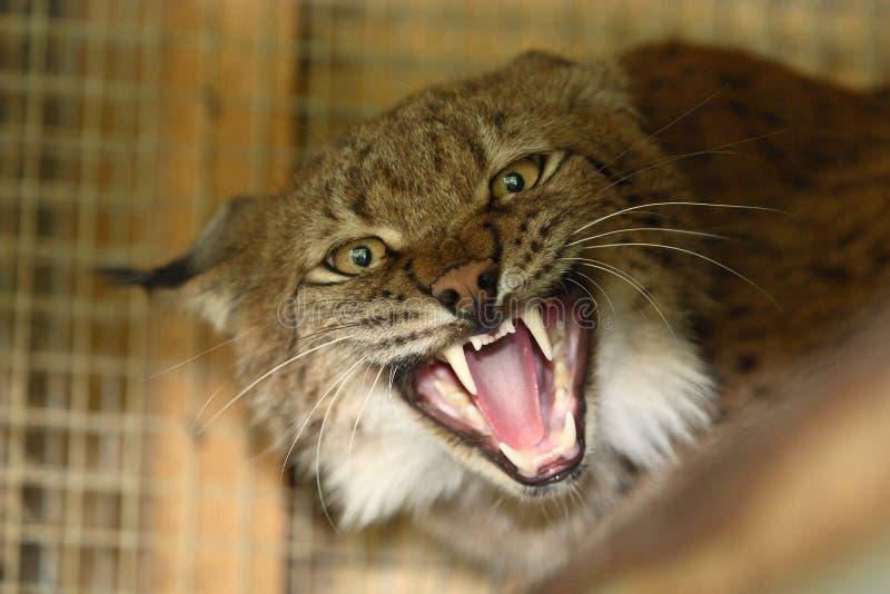 Download Aggressive lynx stock photo. Image of whisker, danger - 4571894