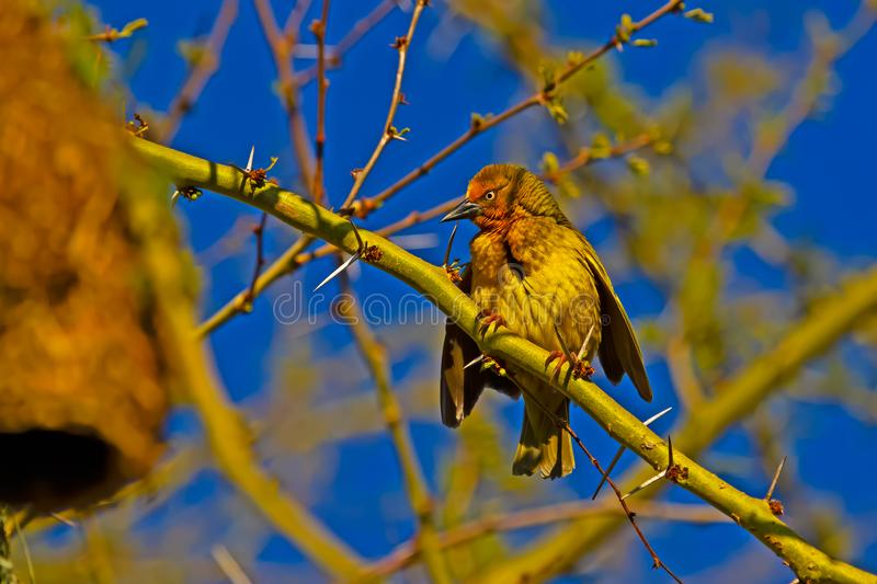 Aggressive male Cape Weaver in breeding plumage. Aggressive male Cape Weaver bird in breeding plumage perched on thorn tree , Western Cape, South Africa stock image