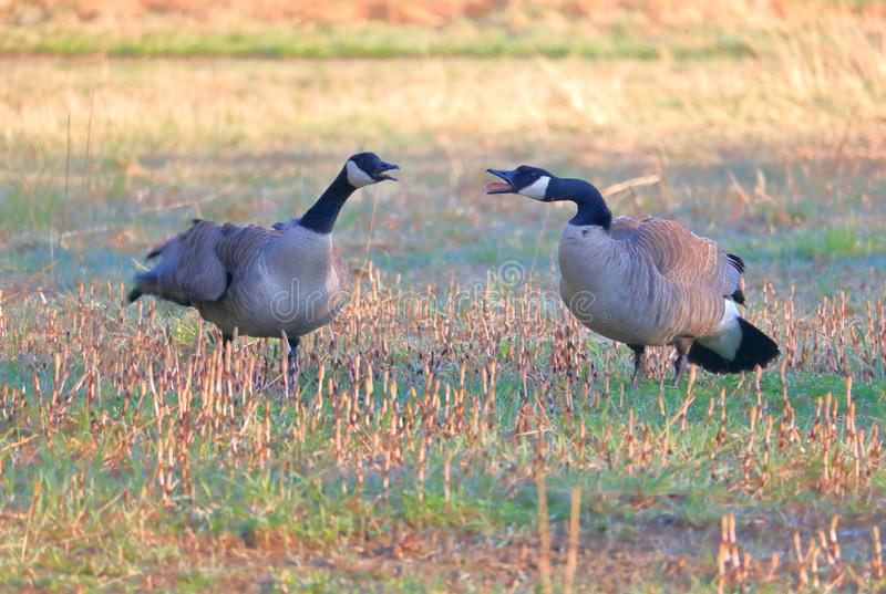 Aggressive Male and Female Canada Geese stock photography